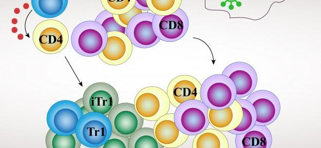 Cellule TR1: un alleato per la tolleranza al trapianto d'organo