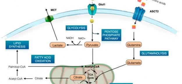 Blocco farmacologico del trasportatore del glucosio Glut1 per controllare l'autoimmunità: nuovo studio supportato da JDRF